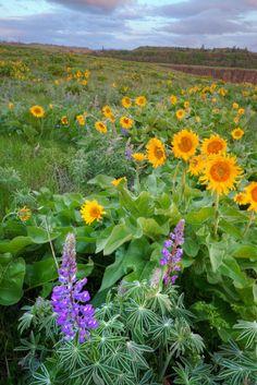 Morning Wildflowers - Rowena Crest, Columbia River Gorge - Oregon