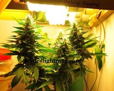 Beginner�s Guide To Growing Your Own Cannabis Indoors