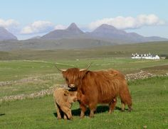 Highland Cow in the Scottish Highlands Scottish Highland Cow, Highland Cattle, Scottish Highlands, N Animals, Cute Animals, Beef Cattle, Cute Cows, Scotland, Creatures