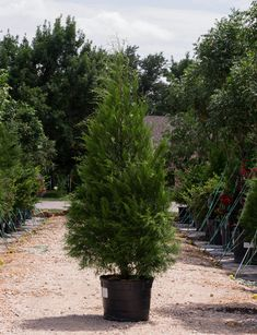 Eastern Red Cedar are evergreen trees with a dense, pyramidal form providing an excellent screen for landscapes around Dallas, Texas. Cedar Trees, Evergreen Trees, Texas Landscaping, Landscaping Ideas, Blue Fruits, Dark Blue Green, Planting Vegetables, Red Cedar, Types Of Soil