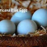 Fertile Chicken Eggs - Americana -Blue Egg - LocalHarvest---For classroom hatching