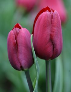 Dark red tulips - have these already. Tulips work well underplanted with lettuce, that has been raised in a cold frame, to plant out when tulips emerge. Good in a container too. Flowers in May. Middle of border, or pots. Perennial. H6 Spread: 10cm