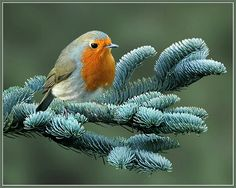 Robin on blue cedar | Flickr - Photo Sharing! John Booth