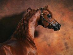 Gorgeous Arabian Horse Arabian Horse Show - Western Competition Egyptian Stallion Breeding