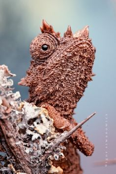 Domergue's leaf chameleon (Brookesia thieli) is a species endemic to eastern Madagascar. ~ by Igor Siwanowicz Beautiful Creatures, Animals Beautiful, Cute Animals, Geckos, Reptiles And Amphibians, Mammals, Chameleon Lizard, Paludarium, Tier Fotos