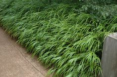 Click to view full-size photo of Japanese Woodland Grass (Hakonechloa macra) at Shelmerdine Garden Center