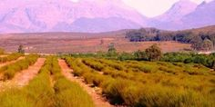A rooibos tea safari in the Cederberg gives you the chance to see how rooibos tea is grown and produced. And you get to sample and buy rooibos products. Champs, Cape Town Accommodation, Local Tour, Out Of Africa, Far Away, West Coast, Landscape Photography, South Africa, Safari