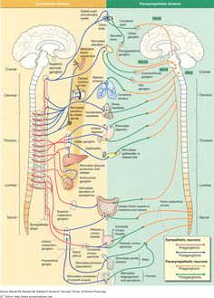 sympathetic and parasympathetic divisions