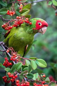 Cherry-headed Conure in San Francisco - 'Wild Parrot of Telegraph Hill' by Michael Filippoff / All Birds, Cute Birds, Pretty Birds, Beautiful Birds, Animals Beautiful, Tropical Birds, Exotic Birds, Colorful Birds, Exotic Pets