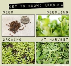 How To Grow Arugula // Northwest Edible...GREAT info on this blog! Absolutely everything you need to know about arugula.