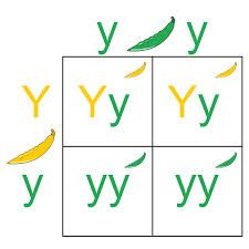 This image shows an example of a punnett square. Students can use a punnett square to align hybrid and pure traits.