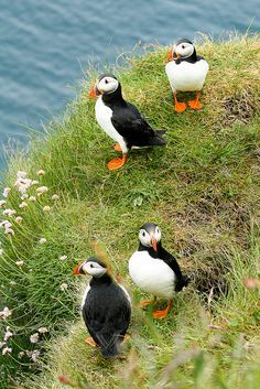 Four puffins on the Faroes Islands. If there is anything cuter than a penguin, it is a puffin! Pretty Birds, Love Birds, Beautiful Birds, Animals Beautiful, Exotic Birds, Colorful Birds, Animals And Pets, Cute Animals, Wild Animals