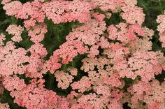 Top 10 Plants for Sandy Soil: Yarrow. Achillea•  Achillea• Zones 3 to 9  Lacy flower heads top each stem of yarrow. Varieties range from a short 6 inches to more than 4 feet tall. This hardy bloomer thrives in full sun and should be divided in spring for the optimal summer show.