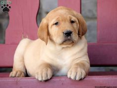 Franklin, Yellow Lab puppy for sale from Bethel, PA