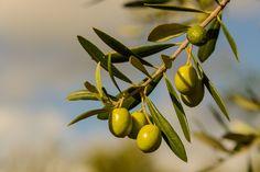 Nature Names, Italian Life, Fruit Garden, Fruit Art, Olive Tree, Fruit Trees, Fruits And Vegetables, Mother Nature, Olive Oil