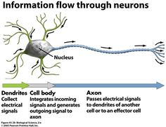 The nervous system communicates through the use of electrical signals, which rely on electrophysiology. An electrical potential is the difference in the concentration of charged particles between one point to another. The electrical signals flow from the dendrites down the axon.