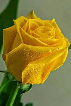 when do hybrid tea roses bloom Beautiful Rose Flowers, Pretty Roses, Exotic Flowers, Beautiful Flowers, Ronsard Rose, Organic Roses, Rose Pictures, Hybrid Tea Roses, Yellow Flowers