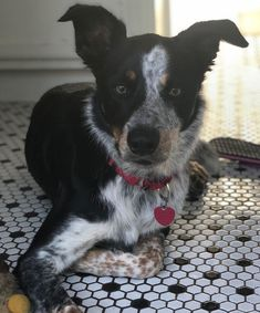 Boston Terrier, Dogs, Animals, Boston Terriers, Animales, Animaux, Pet Dogs, Doggies, Animal