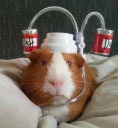 Guinea pig enjoying a refreshing Duff.