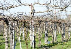 Pruning Overgrown Kiwi Vines - How To Prune Kiwi An Overgrown Kiwi Potato Vine Plant, Potato Vines, Aquaponics Fish, Aquaponics System, Kiwi Vine, Pruning Fruit Trees, Vine Trellis, Climbing Vines, Plant Cuttings