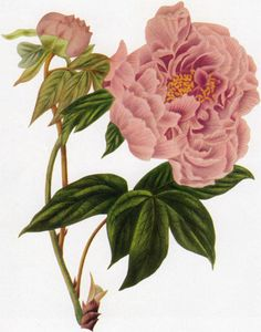 Miss Smith of Adwick Hall, who did the painting around 1820 for this aquatint engraving of a Chinese Tree Peony, is known to us only by her last name and place of residence. Another botanical illustrator known by her last name, alone, is Miss Adams.