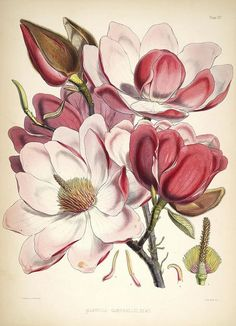 dendroica:  Magnolia campbelliiby BioDivLibrary on Flickr. Illustrations of Himalayan plants :. London :L. Reeve,1855..biodiversitylibrary.org/page/620686:
