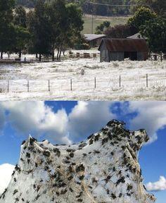 The Australian spiderweb fields: