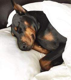 The Doberman Pinscher is among the most popular breed of dogs in the world. Known for its intelligence and loyalty, the Pinscher is both a police- favorite bree Chien Dobermann, I Love Dogs, Cute Dogs, Doberman Pinscher Puppy, Doberman Puppies, Doberman Love, Sleeping Dogs, Beautiful Dogs, Rottweiler