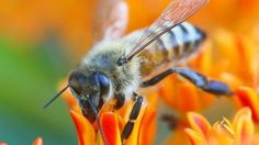 Bee venom could be key to a cancer cure, scientists say. Bee Venom Therapy. BVT