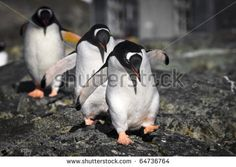 Photo about Three penguins running over the rocks in Antarctica. Image of scenic, antarctica, rock - 16894690 Penguin Walk, Penguin Life, Poster Wall, Poster Prints, Running Images, Penguin Images, Gentoo Penguin, Types Of Animals, Cute Penguins