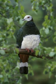 White-bellied Imperial Pigeon, endemic to Sulawesi, Indonesia