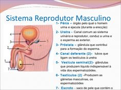 Sistema Reprodutor Masculino <ul><li>1- Pénis –  órgão pelo qual o…