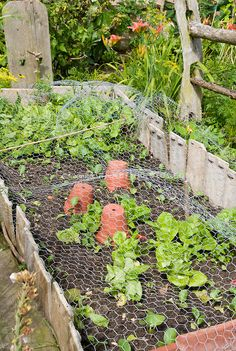Keeping chickens, pests, pets, animals and wildlife out of the vegetable garden crops with chicken wire netting, protecting plants Potager Garden, Garden Plants, Herb Garden, Sempervivum, Garden Screening, Growing Gardens, Keeping Chickens, Foliage Plants, Cool Landscapes