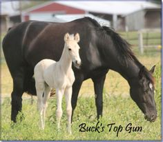 SOLD - BUCK'S TOP GUN #pend - buckskin Tennessee Walking Horse colt, by The Buck Starts Here x She's A Home Run. He is beautiful and follows his mother across the pasture in a true running walk.  Foaled 04/26/2012. Horse is located in Missouri. Overseas transport can be arranged. Priced at $2500.  http://www.holmesfarmwalkers.com/BucksTopGun.htm