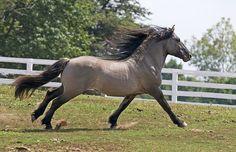 Highland Pony | Highland Pony / Highland Pony