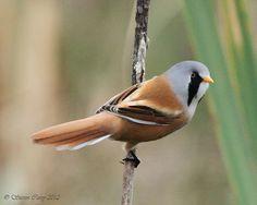 Bearded Tit (Panurus biarmicus) ~ (Explored) by British Birds 2009, via Flickr