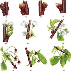 Conoces cuales son los estados fenologicos del cerezo?. La frenología de una planta nos cualifica sus estados de desarrollo. En la foto puedes observar los estados fenologicos del cerezo vía @tecnicoagricola.es. Así que si ves que ya hay hojas es porque está pasando la floración ;)