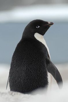 Adelie penguin on Antarctic Peninsula