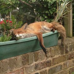 Red Fox sleeping in a Window Box