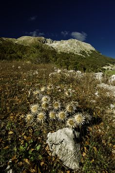 Campitello Matese with Cirsium vulgare, Molise, Italia