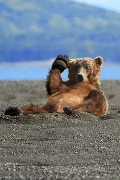 Funny Grizzly Bear Salutes