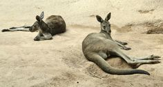 GREENER GAS  Unlike ruminants, kangaroos produce low-methane farts and burps, and researchers are discovering how they do it. ~~ PRILL/Shutt...