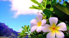 XiNature.com - Island Plumeria Paradise Water Adi Mountain Flower Wallpaper And Backgrounds
