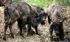 Bison are being brought back from extinction in Europe. Two European bison (Bison bonasus) fight after being relocated, at Armenis, Tarcu Mountains, southwestern Romania, May 17, 2014.