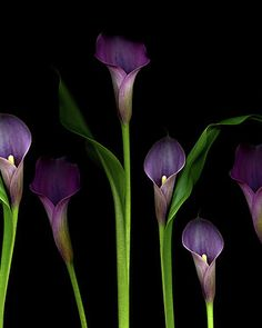 Calla Lilies Art Print by Marlene Ford. All prints are professionally printed, packaged, and shipped within 3 - 4 business days. Black Calla Lily, Purple Calla Lilies, Black Orchid, Calla Lily Tattoos, Color Mixing, Flower Arrangements, Beautiful Flowers, Orchids, Wedding Flowers