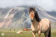 Kunstdruck Islandpferde FineArt Print Icelandic Horses