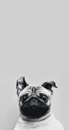 Os Melhores Vídeos de #Pug Já Encontrados Nessa Internet http://wnli.st/1Ptzqtx