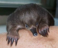 Echidna Puggle, Albinism, Weird And Wonderful, Cute Baby Animals, Animal Kingdom, Make Me Smile, Hogwarts, Character Design, Friends