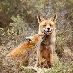 #fox #love / #renard #amour http://ift.tt/1JupD2h