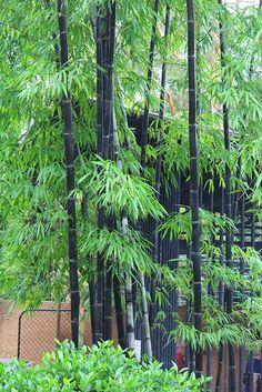 Bambusa lako / Timor Black Bamboo - All About Bamboo Bamboo, Black Bamboo, Bamboo Plants, Outdoor Plants, Green Plants, Tropical Landscaping, Tropical Garden, Bamboo Landscape, Bamboo Species